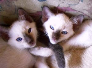 Kitten aus der Zucht of old Royal Siam © Cattery of old Royal Siam