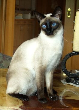 Paula of old Royal Siam - weiblich, seal point © Cattery of old Royal Siam